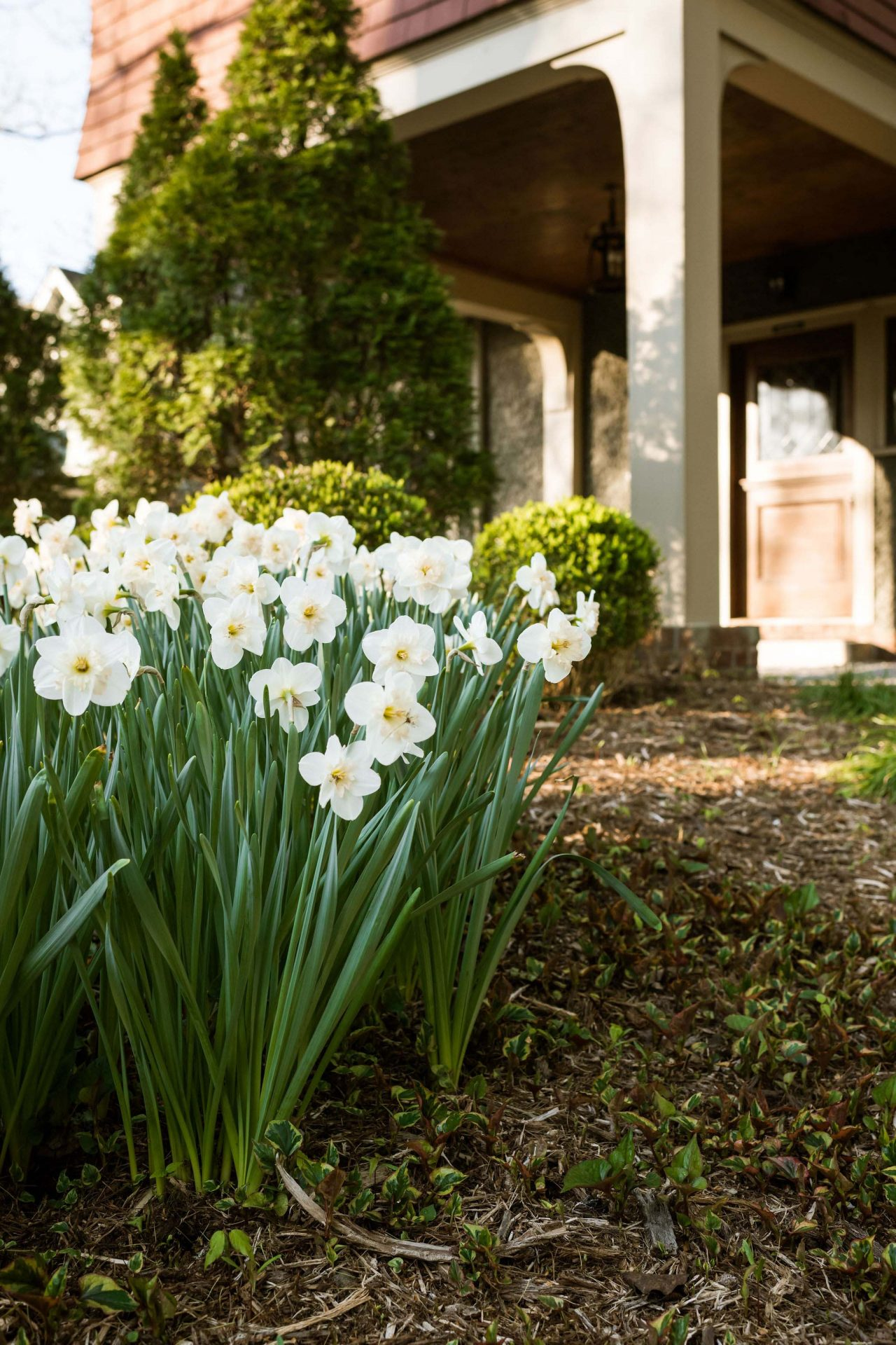 A cloese-up of the white daffodils in the backyard of the Asheville bed and breakfast.
