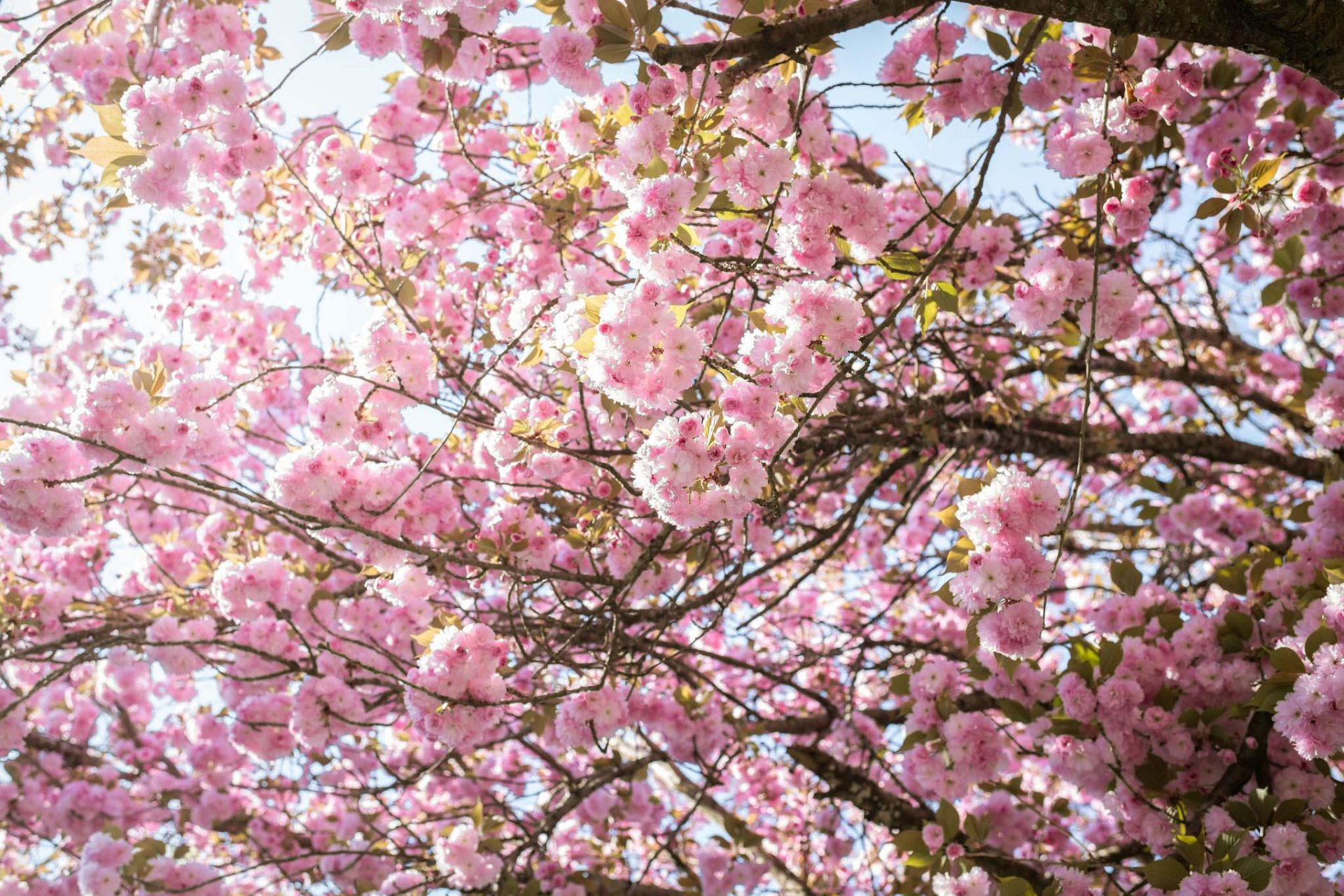 A close-up of a cherry blossom tree.